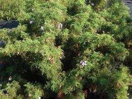 geranio filicifolium
