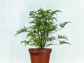 geranio-filicifolium_w1