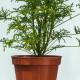 geranio-filicifolium_w2
