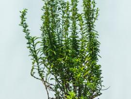 micromeria-timifolia_w1