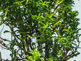 micromeria-timifolia_w2