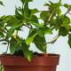 salvia-ananas-o-elegans_w2