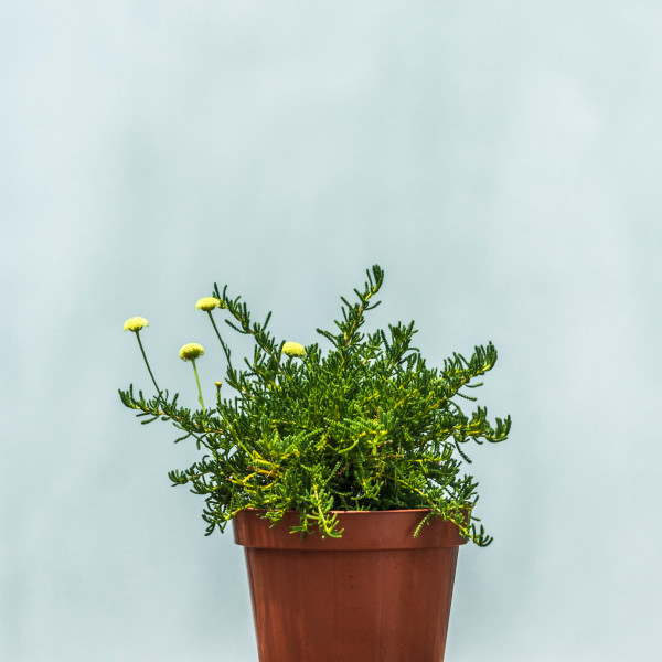 santolina-viridis_w1