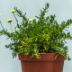 santolina-viridis_w2