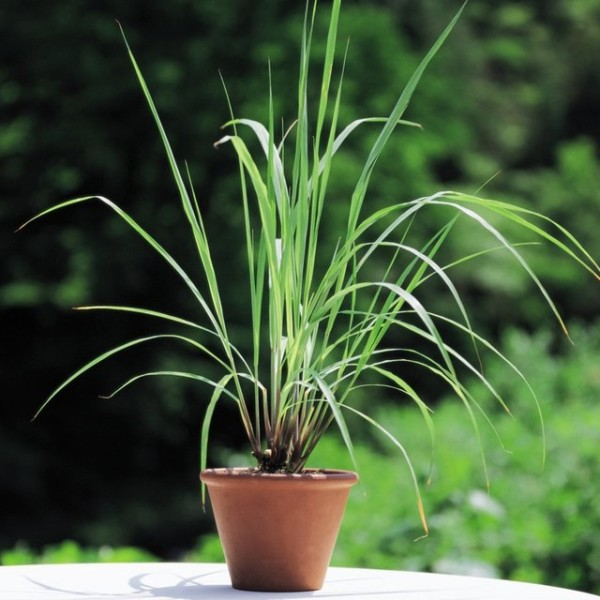 lemon_grass_plants_-_herbaceous_picture_1440x900_1024x1024