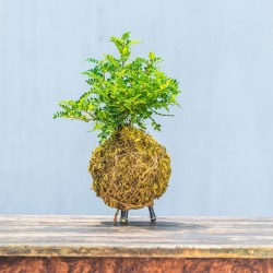 table_kokedama